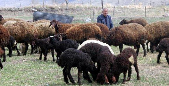 morkaraman-koyunlar-cifter-cifter-doguruyor-DHA-1b1c4846b5790b1f70e83c996a0a016e-1-t