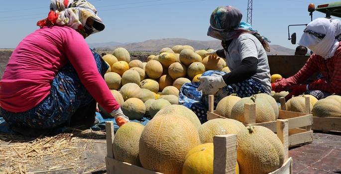 """Birbirinden farklı ürün desenlerinin bulunduğu Hatay'da kendine has kokusu, tadı ve rengiyle yurt içi ve yurt dışından büyük talep gören kavunlar, verimin düşüklüğüne rağmen 1 lira civarındaki fiyatlarıyla üreticisinin yüzünü güldürüyor. Türkiye'nin önemli kavun üretim alanlarından biri olan Hatay'ın Kırıkhan ilçesinde yetişen, """"Ananas"""" ve """"Galya"""" çeşitlerinin yer aldığı kavunlar hasat edilerek tezgahlardaki yerini alıyor. ( İsmihan Özgüven - Anadolu Ajansı )"""