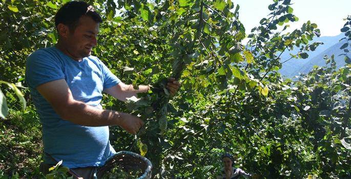 Ordu'da 2 Ağustos'ta başlaması planlanan fındık hasadı, bazı üreticiler tarafından aşırı sıcaklardan dolayı erken başlatıldı. Çatalpınar ilçesinde daha önce belirlenen fındık hasat tarihine rağmen vatandaşlar, aşırı sıcak nedeniyle erken olgunlaşan fındıklarını topluyor.  ( Sefa Eyi - Anadolu Ajansı )