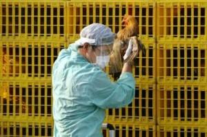 Hygiene workers take chicken