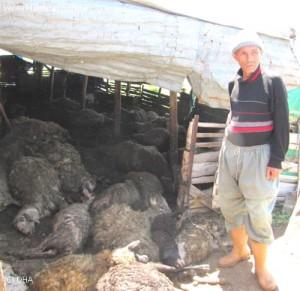 kurtlar-40-koyunu-telef-etti-4641930_o