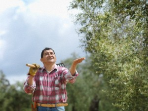 Man in olive grove checking for rain