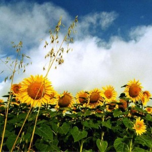 Sunflowers ü