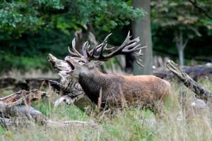 Taurusis elnias (lot. Cervus elaphus, angl. Red deer, vok. Rothirsch, lenk. Jeleń szlachetny) – elninių (Cervidae) šeimos žinduolis. (2).preview