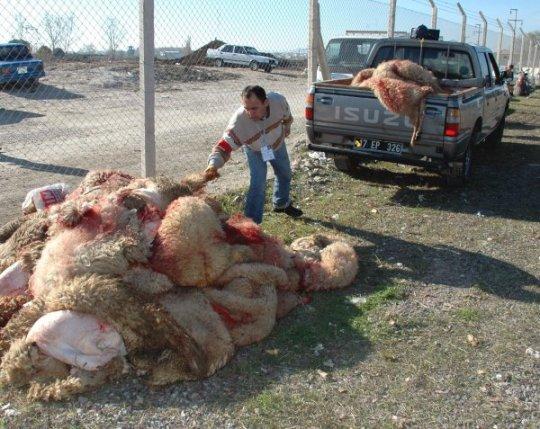 canakkalede-vatandaslar-kurban-bayraminda-toplu-kesime-yoneldi-canakkale-20091201AY253402-01