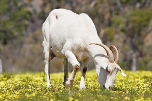 Domestic_goat_feeding_on_capeweed-1024x682