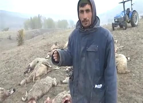kurtlar-25-koyunu-telef-etti-5149603_o