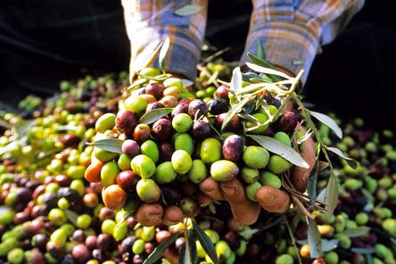 France, Alpes de Haute Provence, olive harvest near Les Mees