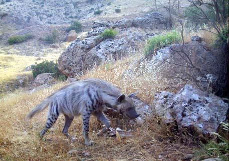 Şırnak'ta çizgili sırtlan doğal ortamında görüntülendi