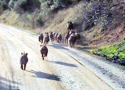 Ac kalan domuzlar yollara düştüler (Foto:DHA)