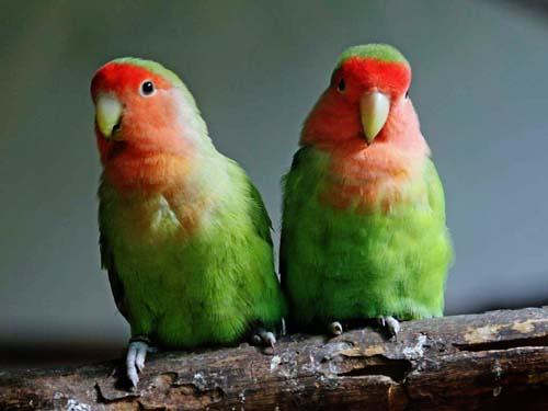 Lovebird, Peach-faced PJ