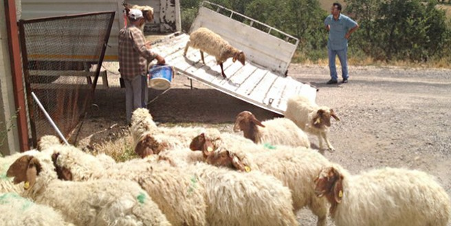 koyun ihracatı