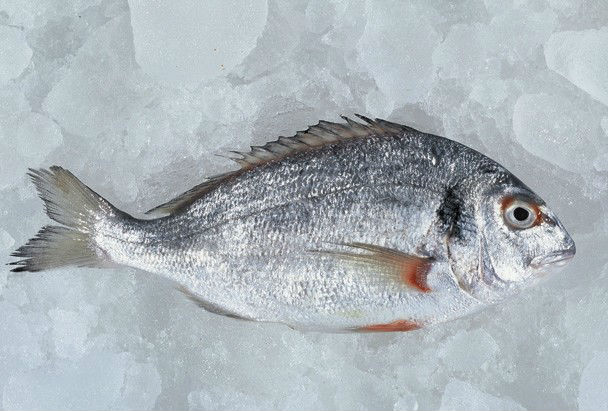 Farm_Fishes_of_seabream_seabass_trout_meagre