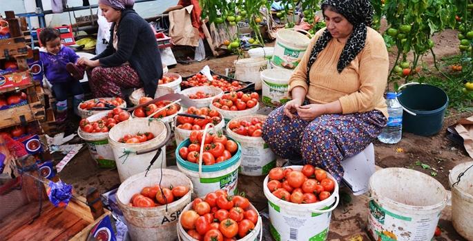 Türkiye'nin önde gelen jeotermal merkezlerinden Kütahya'nın Simav ilçesinde, jeotermal seralarda yetiştirilen domatesler iç pazarda büyük ilgi görüyor. ( Zekeriya Türkel - Anadolu Ajansı )