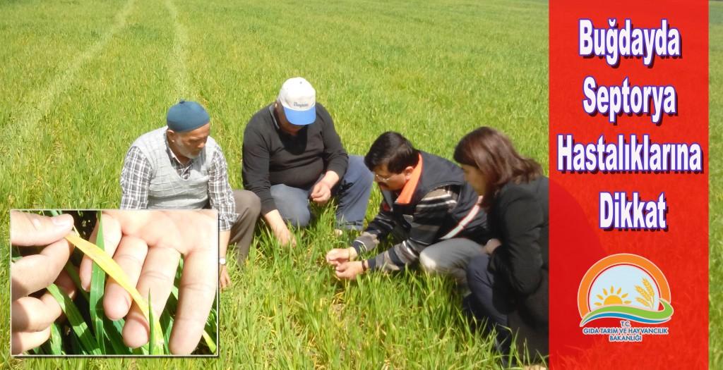 Buğdayda Septorya Hastalıklarına Dikkat.facebook