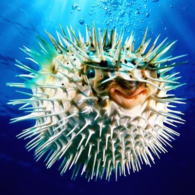 pufferfish-ig