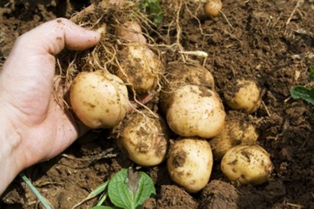 Patates-05