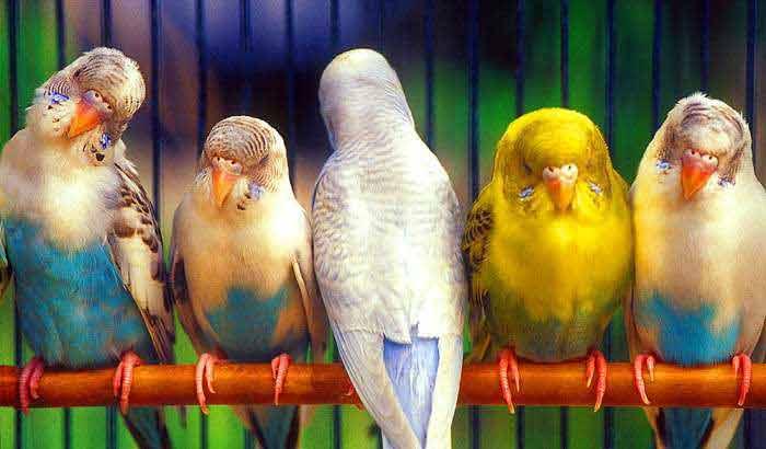 parakeets58