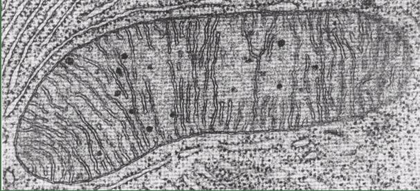 Şekil 4.  Elektron mikroskobu altında mitokondri organelinin görüntüsü